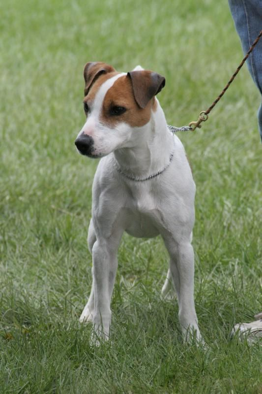 Jack Russell Terrier Everything Best Dogs Sparkle Jack Russel