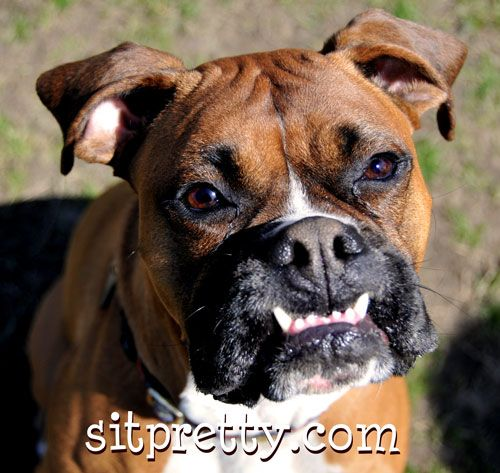 Love The Teeth Boxer Love Boxer Animals