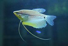 Pearl Gourami Wikipedia Fish Beautiful Fish Tropical Freshwater Fish