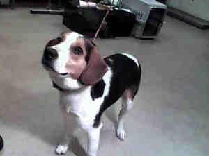 N Carolina Urg T Meet Louie Id A125187 A Neutered Adoptable Treeingwalkercoonhound Dog In Treeing Walker Coonhound Dog Sounds Dog Adoption