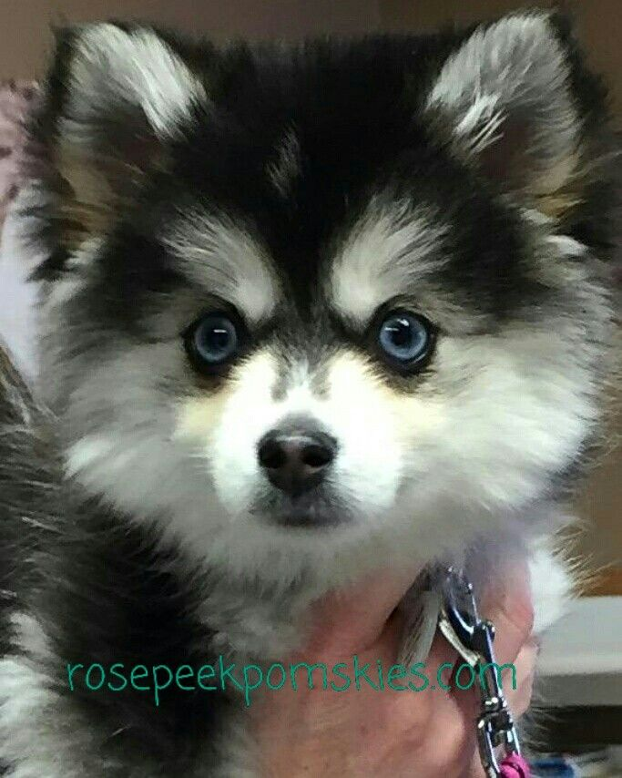 Pomsky Mistletoe At 3 Months Minihusky She Will Be About 11