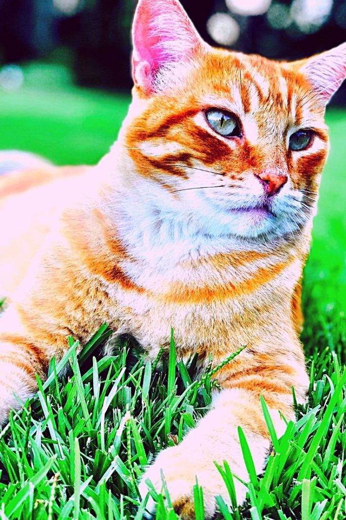Tiger Cat or Toyger A Domestic Tiger Breed Cats Lovers