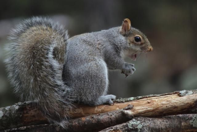 Native German speakers have difficulty saying the word squirrel.    http://m.mentalfloss.com/article.php?id=56880