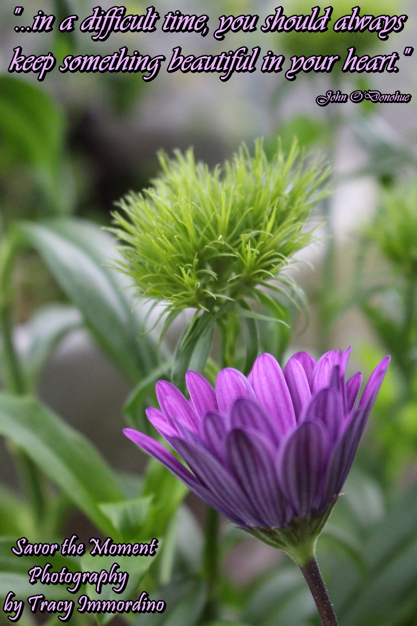 Osteospermum purple daisy and green trick dianthus savor the