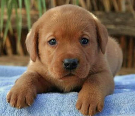 A Red Dark Yellow Lab How Can You Not Want One Labrador