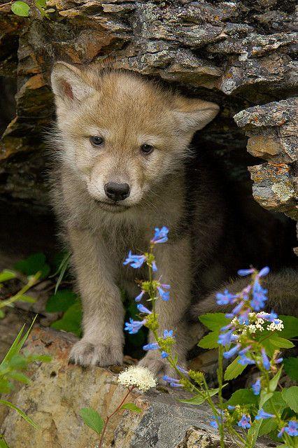 Wolf pup | Wolves | Tier wolf, Wolf Welpen, Grauer Wolf