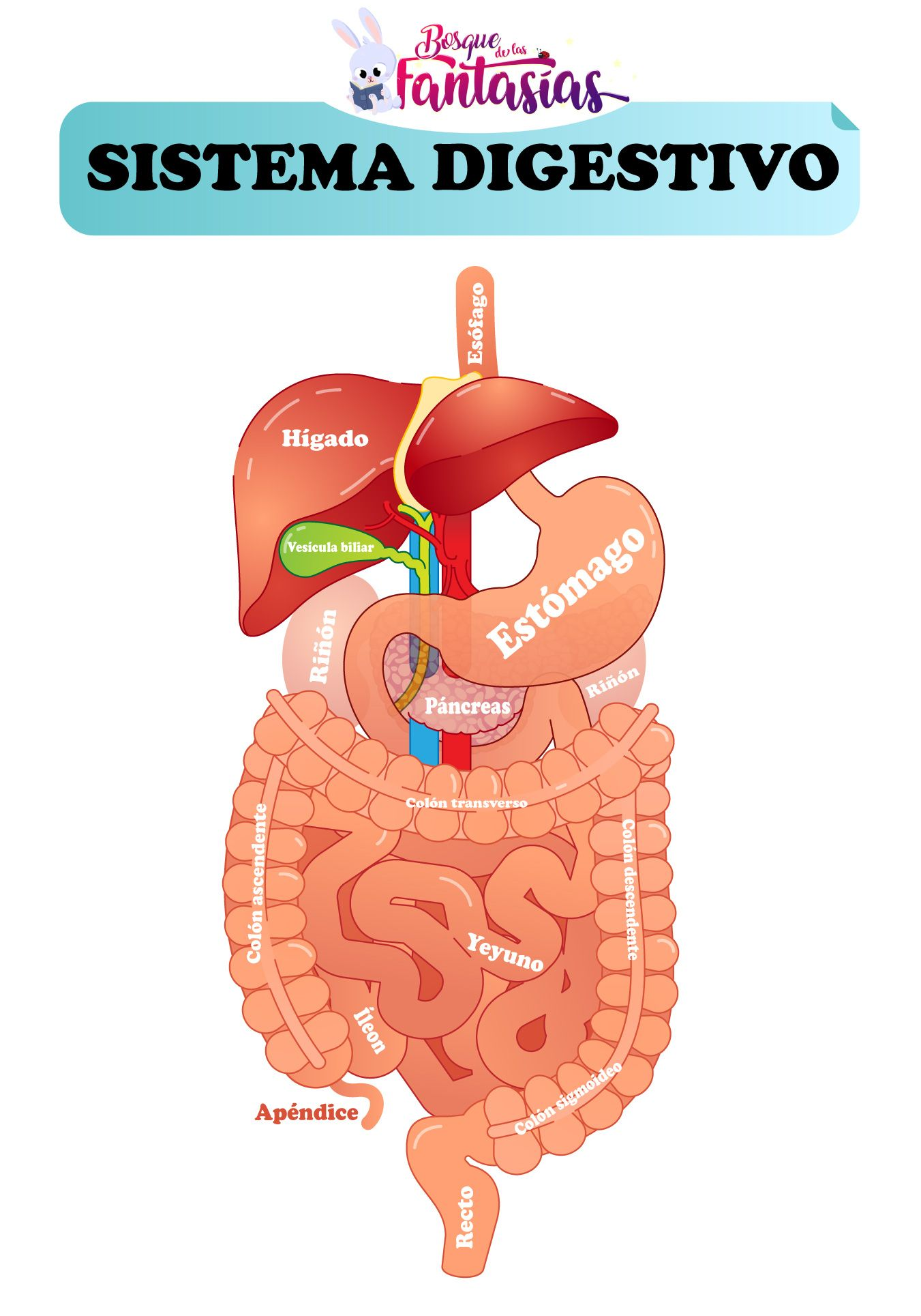 El Sistema Digestivo Partes órganos Y Función Para Niños Sistema Digestivo Para Niños Sistema Digestivo Partes Sistema Digestivo