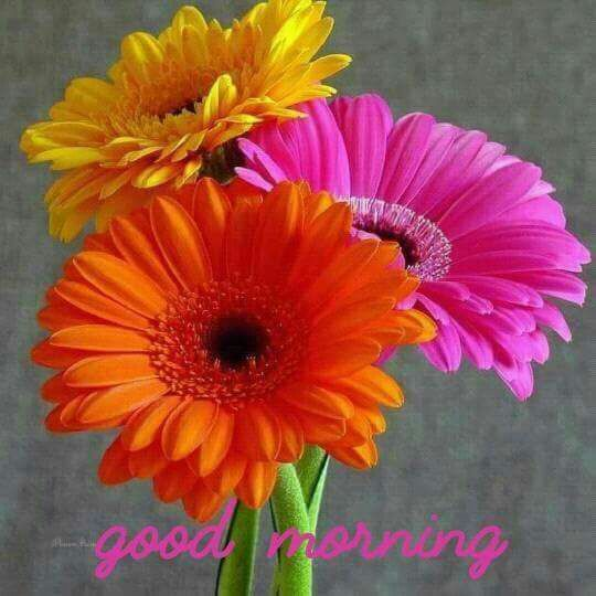 Pin By Rhonda Proffitt On Gerbera Daisies Good Morning Flowers Good Morning Images Gerbera Daisy