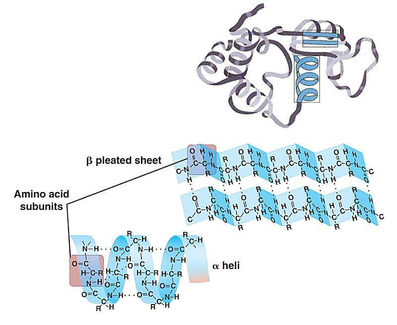 Proteins Biochemistry Amino Acids Biology Lessons