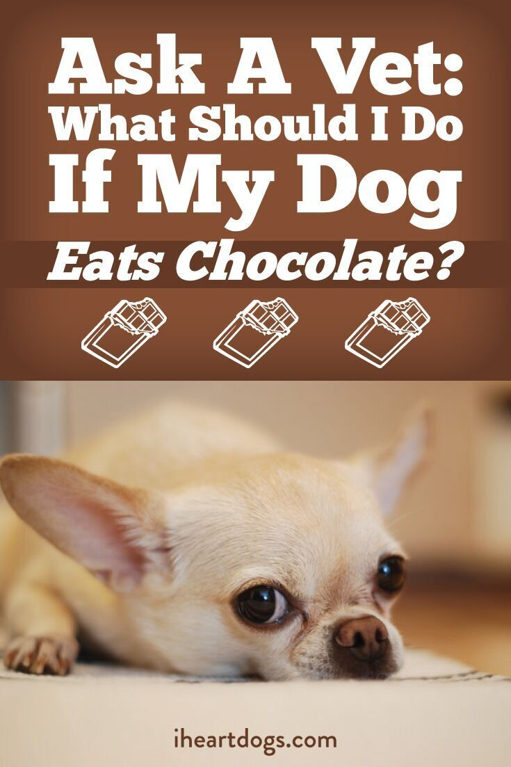 Small Crop Of What Happens When A Dog Eats Chocolate