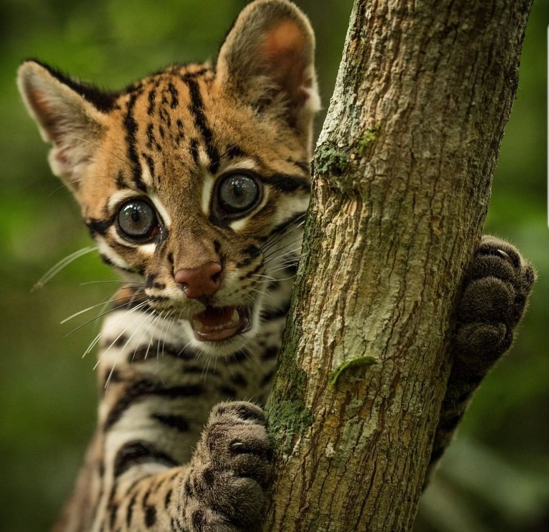 Keanu the Ocelot Pet day, Animals, Animals of the world