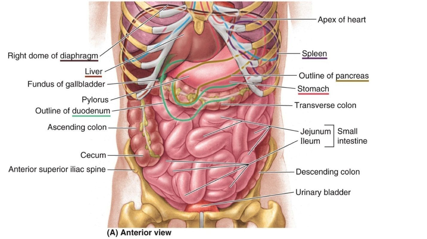 Diagram Of Spleen Location Human Anatomy Study Pinterest Body