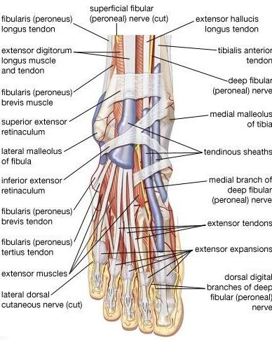 Right Foot Demonstrating Bones Tendons And Ligaments Your Foot