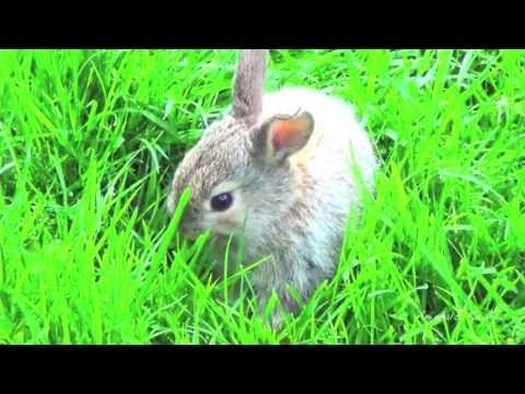 Very cute baby bunny eats grass, first time walking outside, very funny rabbit as pet - HD video - http://thatfunnyblog.com/funny-kids-babies/very-cute-baby-bunny-eats-grass-first-time-walking-outside-very-funny-rabbit-as-pet-hd-video/