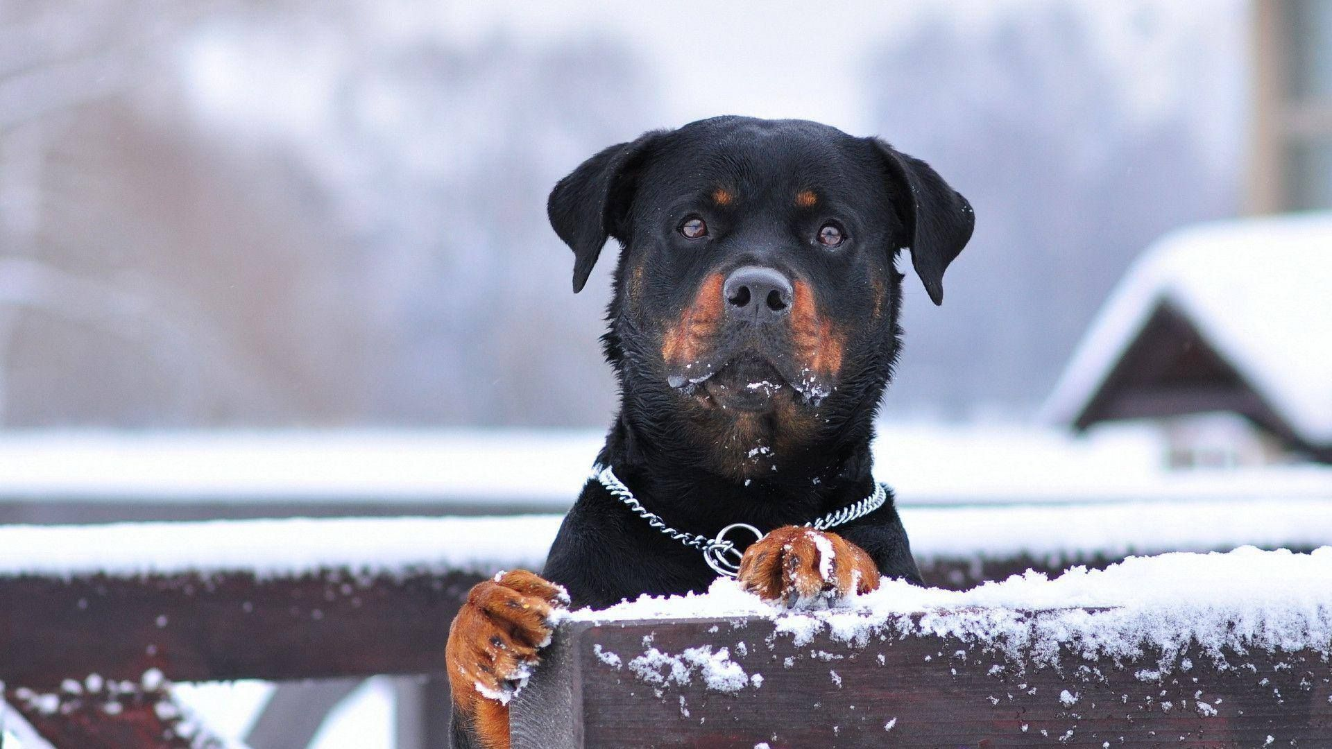 Pin By Deepak Raj On Pets Rottweiler Dog Rottweiler Rottweiler