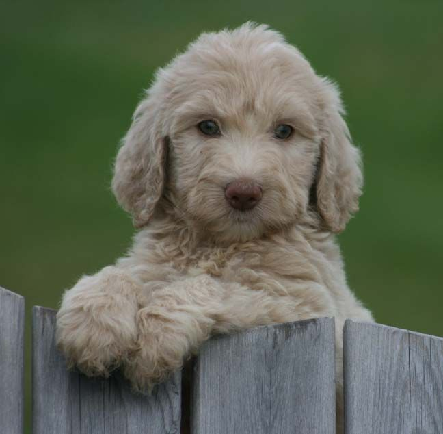 Golden Retriever Puppy Breeders In Ohio That Focus On Making A
