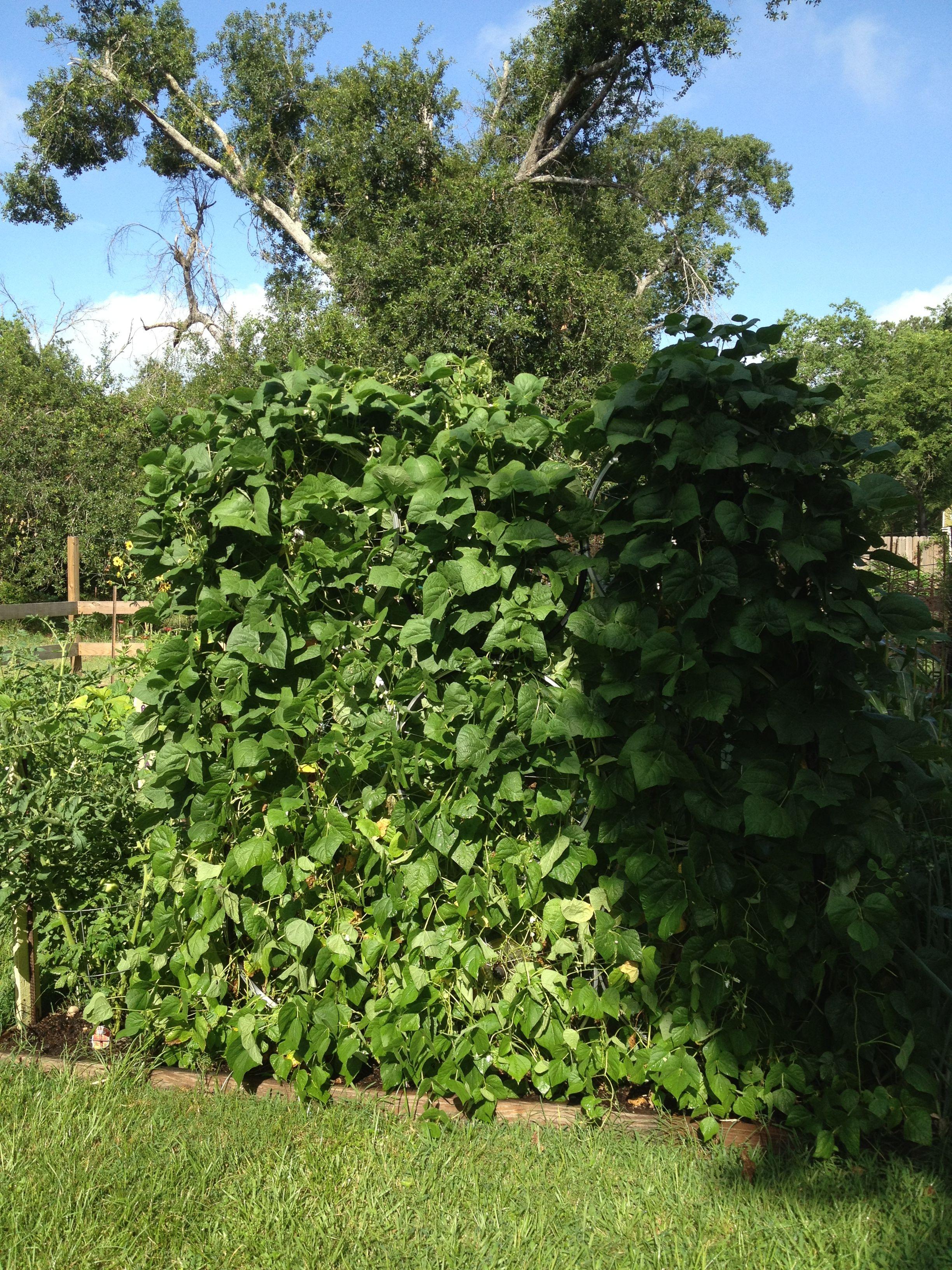 Kentucky Wonder Beans On Bicycle Wheel Trellis In My Garden