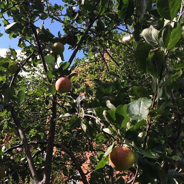 We're holding onto summer for dear life, but it's nice to see the apples in our garden getting ripe! http://ift.tt/1p98DWP
