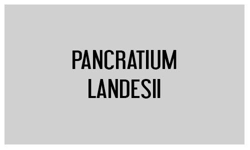 Pancratium landesii