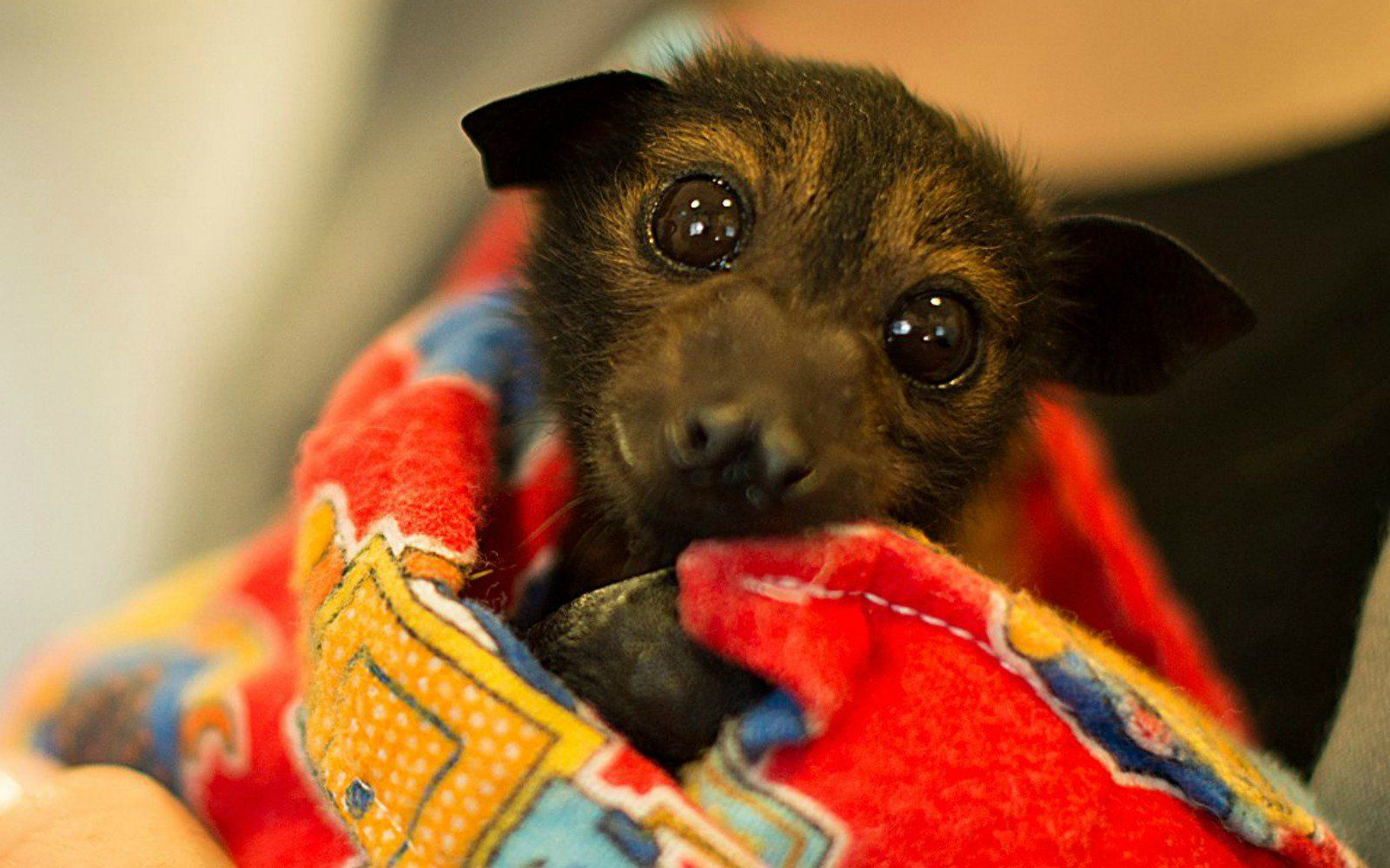The Look On The Face Of This Rescued Bat Will Make You Want To Save Them All Unusual Animals Cute Animals Cute Bat