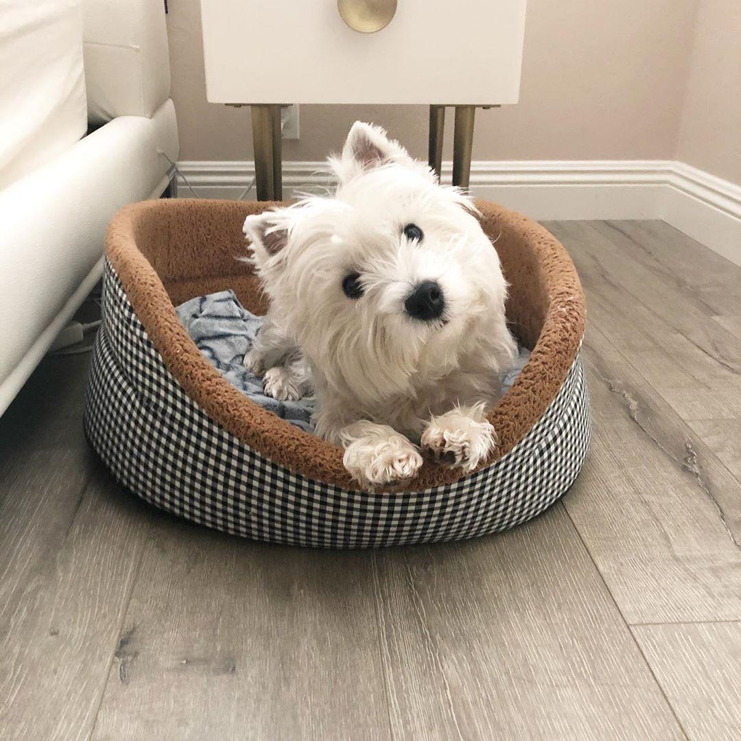 Pin By K D On Doggie Board In 2020 Westie Dogs Westie Puppies