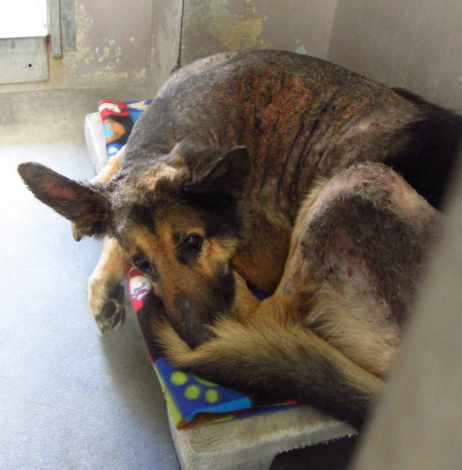 A4616540 Anybody Baldwin Park Cali My Name Is Oso I Am A 12 Yr Old Male Black Brown German Shepherd My Owner Left Me H Animals Dog Adoption Animal Rescue