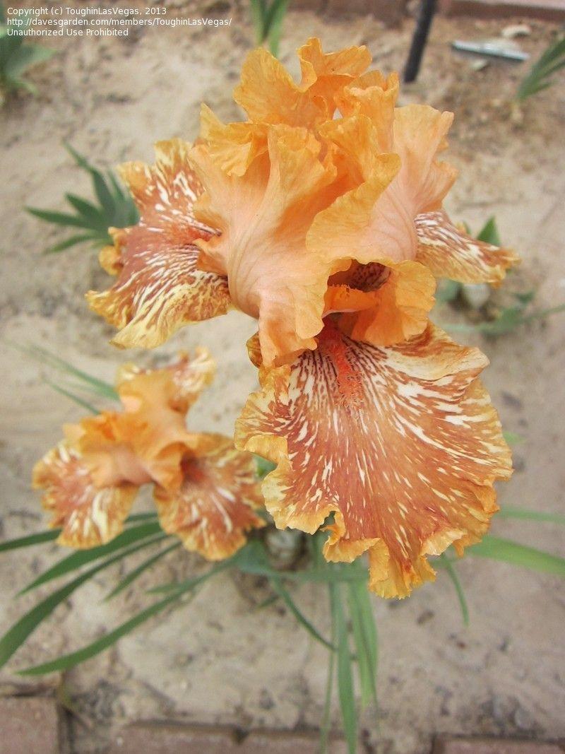 Tall bearded iris orangutan orange iris this is gorgeous but todays bloom is tall bearded iris orangutan orange iris izmirmasajfo