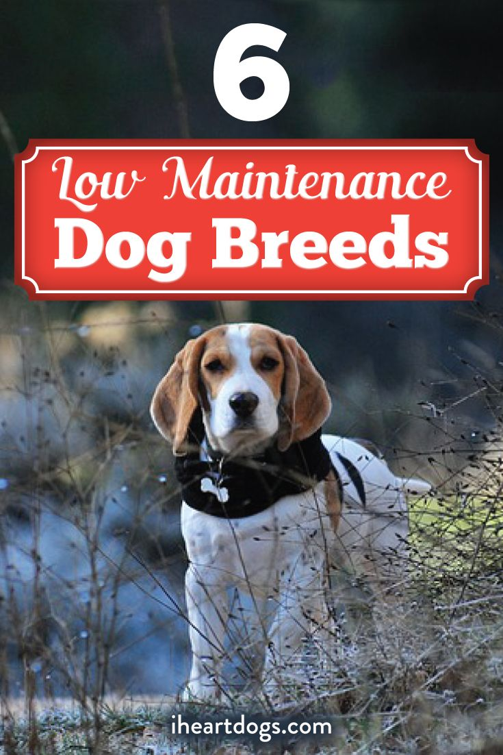 6 Of The Most Low Maintenance Dog Breeds Low Maintenance Dog Breeds Dog Breeds Dogs