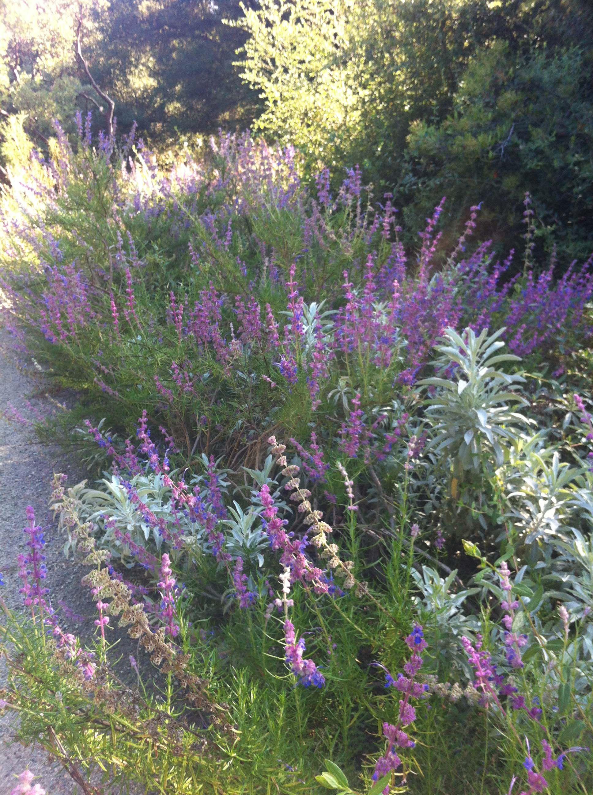 The Sacramento Historic Cemetery S Native Perennial Rose Gardens California Native Garden Native Garden Perennial Garden
