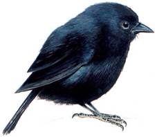 Petit oiseau tout noir simplement noir simply black for Petit oiseau avec houpette