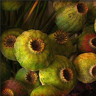 herminehesse:  Poppy seed pods