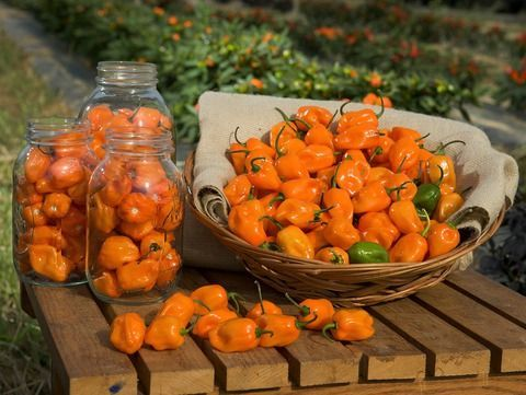 Orange Habanero Pepper Seeds QTY. 25