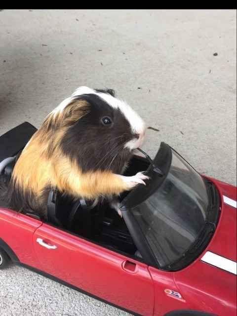Driving my Guinea pig in my Barbie car!!