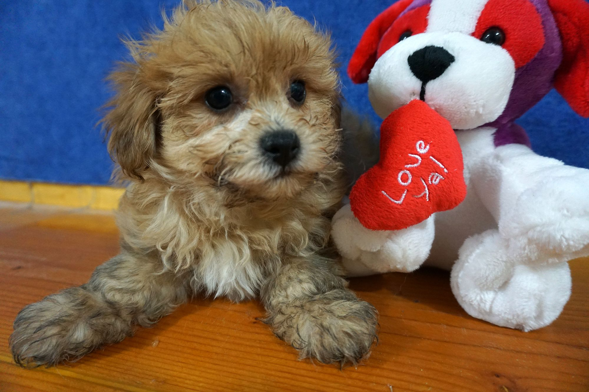 Pin by Wisconsin Puppy Patch on Shichon Small dog breeds