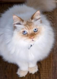 Flame Point Himalayan Kittens And Cats Lovetoknow Ragdoll Cat