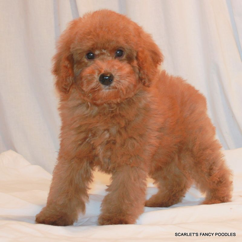 Chantilly And Czars Baby Apricot Teddy Bear Poodle Red And