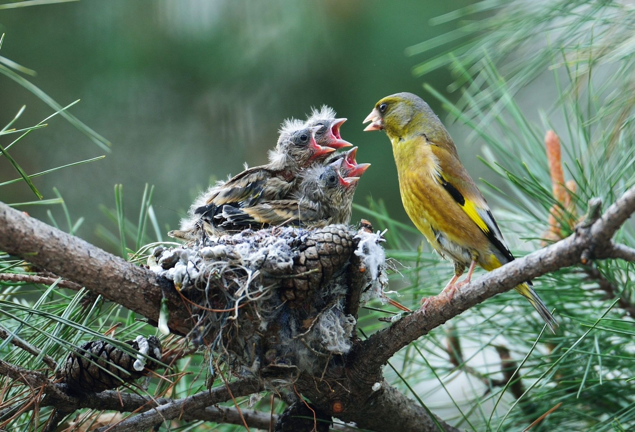 A goldfinch feeds its newly hatched chicks in their nest in Chungju, North Chungcheong province, South Korea.  Photograph: Kim Jae-sun/EPAThe week in wildlife – in pictures