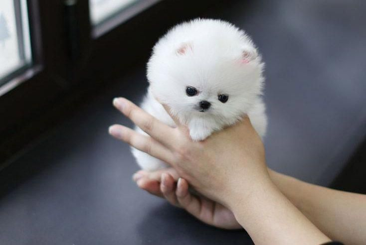 All the things we all like about the  Pomeranians Everything About Lively  Pomeranian Puppies #pomeraniansarecool #pomeranianswag #pomeranianwhite #teacuppomeranianpuppy