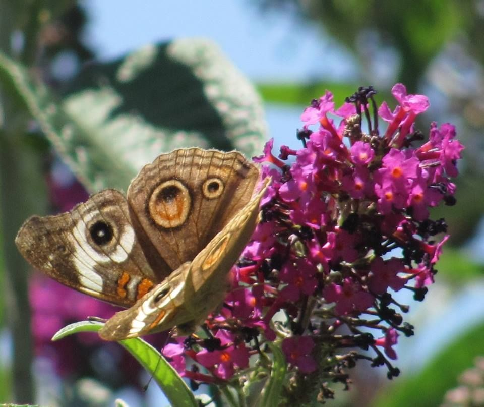 Buckwheat butterfly. Photo by Rachel Jensen.