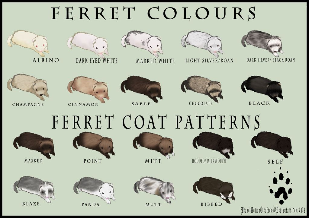 Ferret Colour and Coat Pattern Chart by WeaselWoma