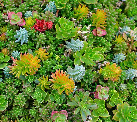Cottage Farms Rainbow Magic Carpet Sedum Qvc Com Sedum Succulent Landscape Design Sedum Ground Cover