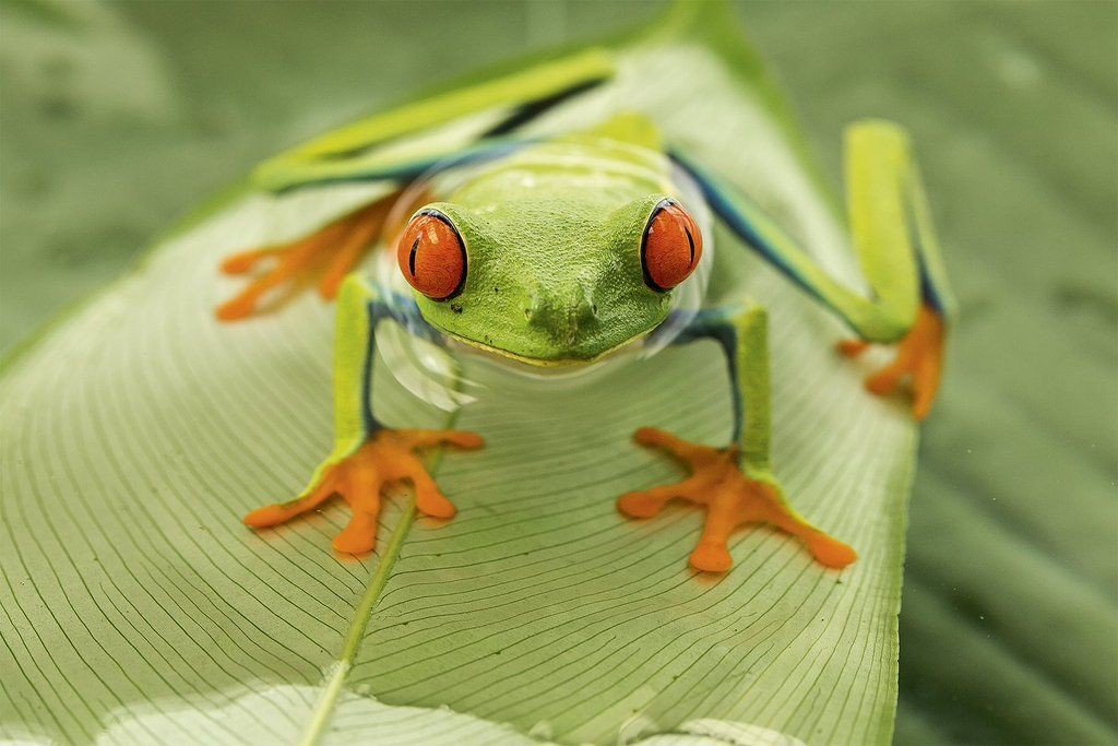 Rana verde de ojos rojos (Agalychnis callidryas) por Nicolas Reusens http://bit.ly/1lhTkfi