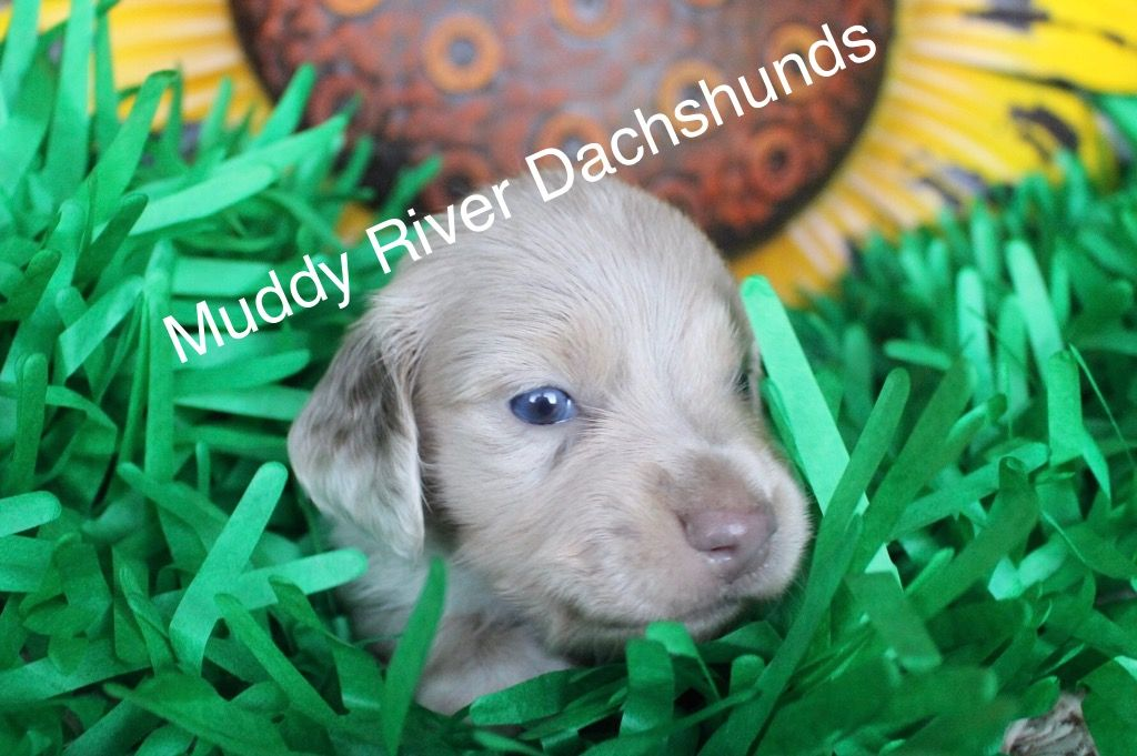 Miniature And Tweenie Dachshund Puppies For Sale Texas With