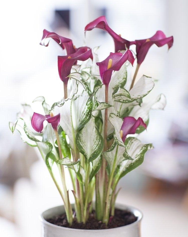 Calla Lily Zantedeschia Frozen Queen Zantedeschia Calla Lily Pretty Plants