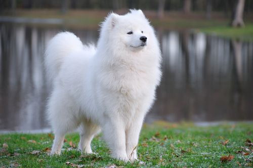 The Samoyed dates back to 1000 BCE, and he hasn't changed much in appearance or temperament in all that time. The breed is named for the Samoyede people, a nomadic tribe that lived on the tundra of northern Russia and Siberia, near the Arctic Circle. The tribe used the dogs they called bjelkiers to herd reindeer, pull sledges, and occasionally hunt bears. These friendly and useful dogs were treated as members of the family, living with them in their primitive dwellings.