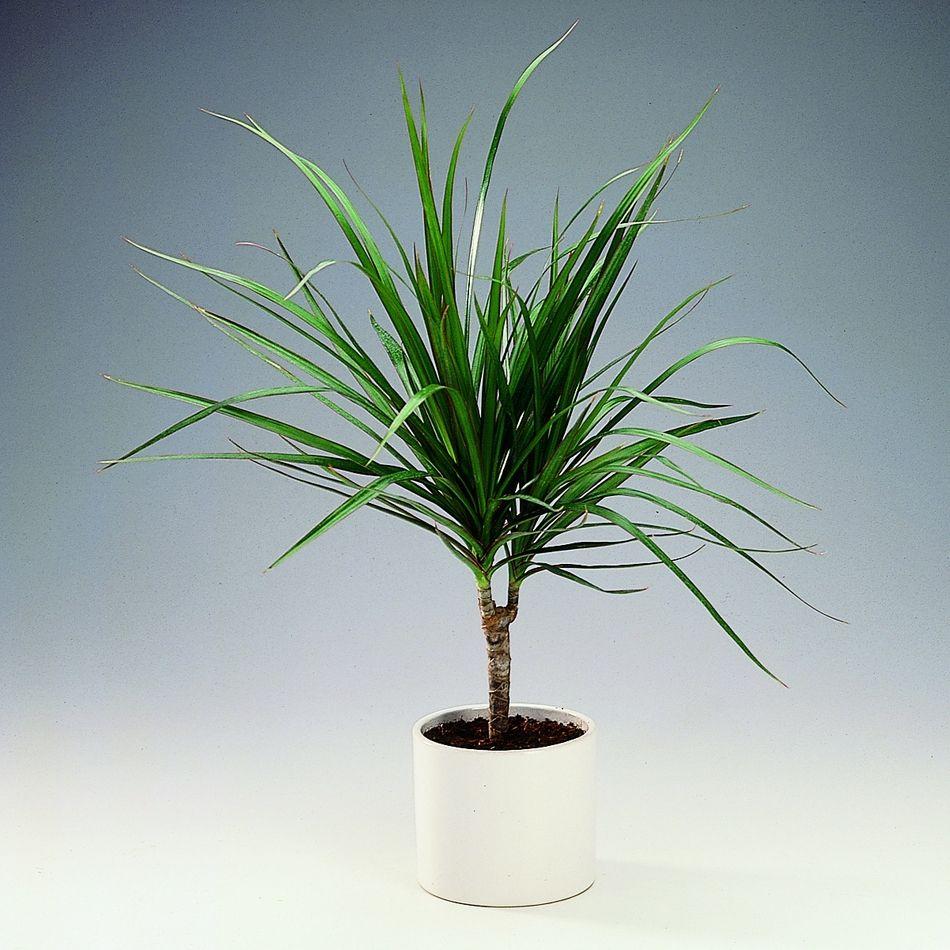 Moje Idealia Blog Lifestylowy Diy Wnetrza Ciaza I Macierzynstwo Uroda Kuchnia Rosliny Doniczkowe Ktore Oczyszczaja Powietrze W Domu Idealne Dla Alerg Dragon Tree Plant Dragon Tree Care Dragon Tree