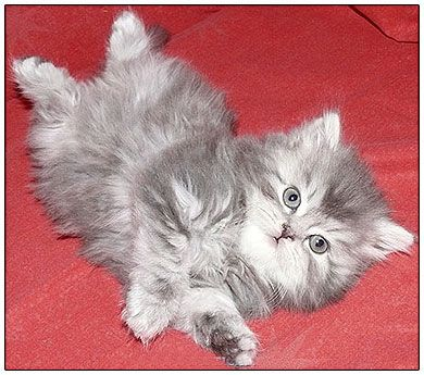 British Longhair Cat Blue Silver Classic Tabby Russian Blue