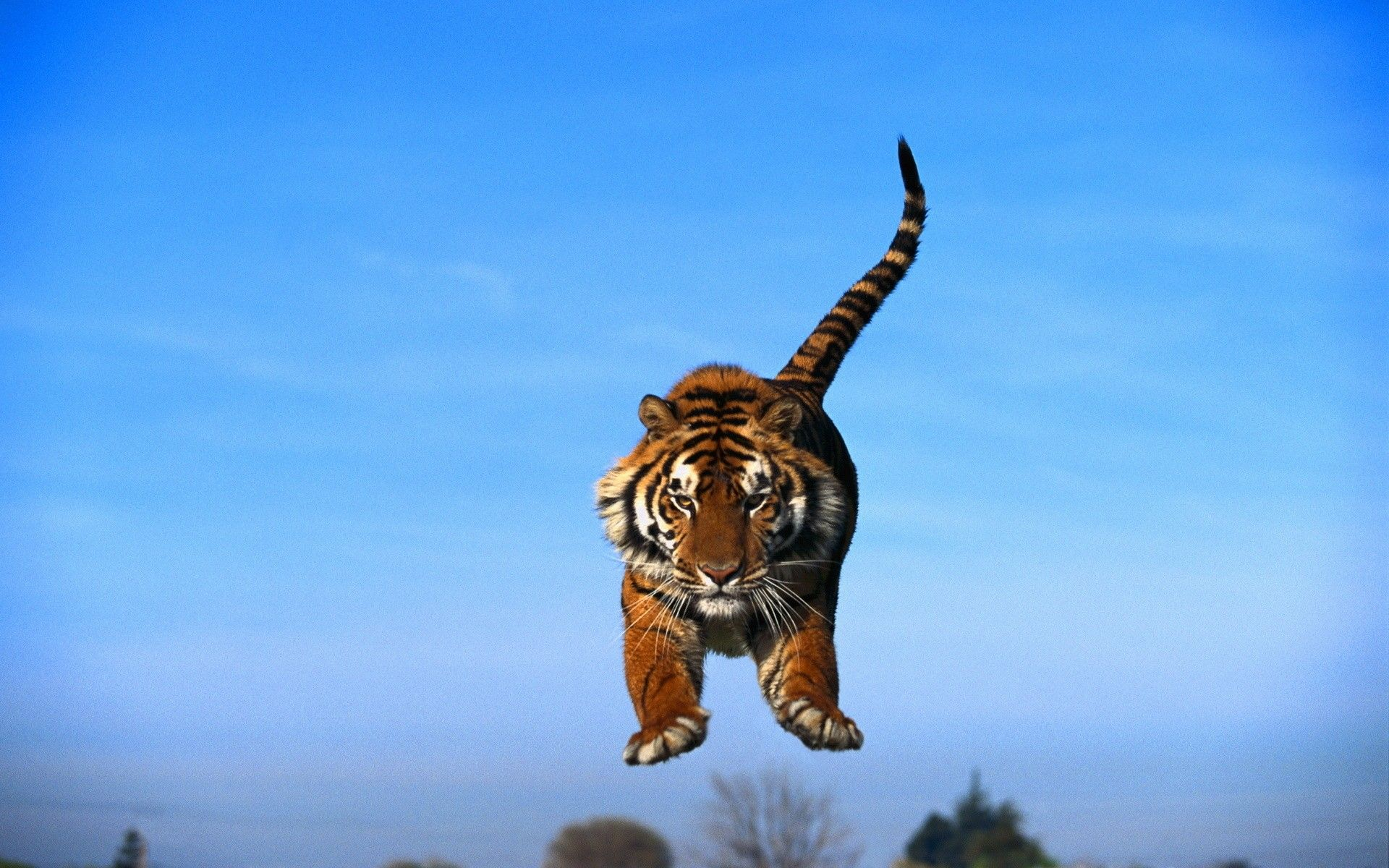 jumping tiger Google Search Animals, Animals of the