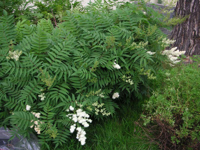 Flowering Shrubs Flowering Shrubs And Trees Ural False Spirea Sorbaria Photo Flowering Shrubs Spirea Plants