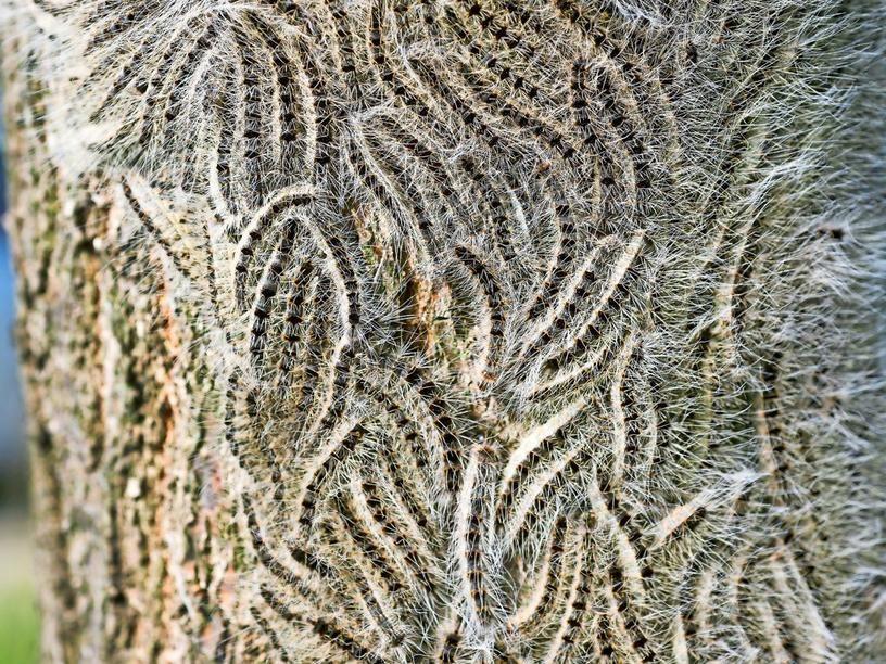 Eichenprozessionsspinner Eichenprozessionsspinner Kafer Insekt Schmetterlingsarten